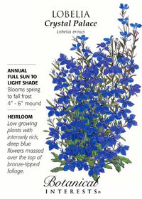 Cambridge Blue Lobelia