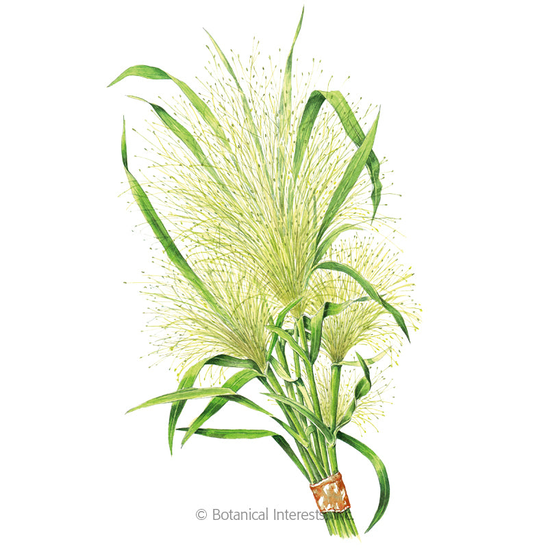 Frosted Explosion Ornamental Grass Rohrer Seeds