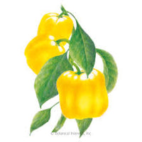 Canary Bell Yellow Sweet Pepper
