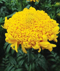 Mission Giant Yellow Marigold