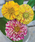 Candy Cane Zinnia Mix