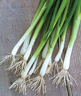 Evergreen Long White Bunching Onion