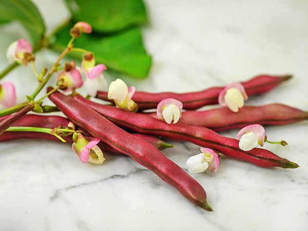 Red Swan Bush Bean (pkt)