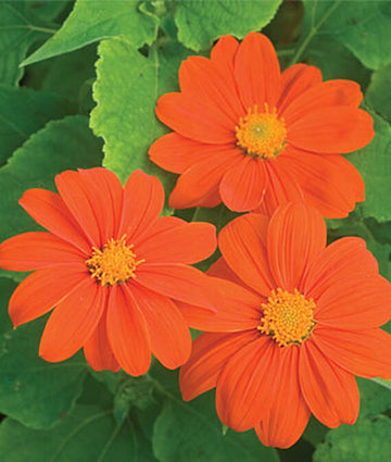 Mexican Sunflower Sundance (Pkt)