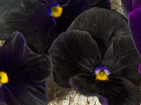 Black King Pansy (Pkt)
