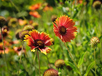 Gaillardia Indian Blanket (Pkt)
