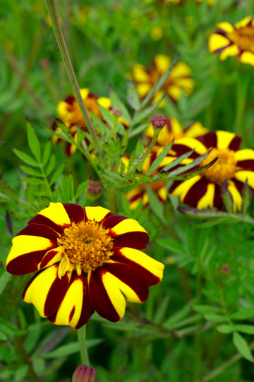Jolly Jester Marigold