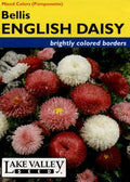 Bellis English Daisy