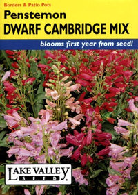 Penstemon Dwarf Cambridge Mix