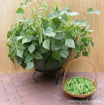 French Mascotte Container Bush Bean