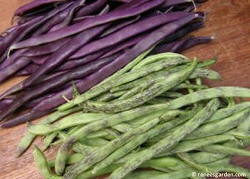 Rattlesnake & Purple Pole Bean