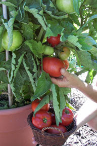 Super Bush Container Hybrid Tomato