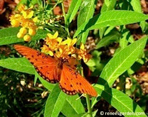 Asclepias Butterfly Bright Wings