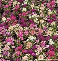 Alyssum Gulf Winds Mix