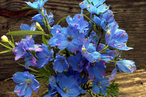 Blue Mirror Chinese Delphinium