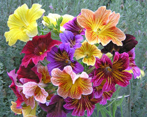 Salpiglossis Stained Glass