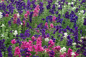 Marble Arch Salvia