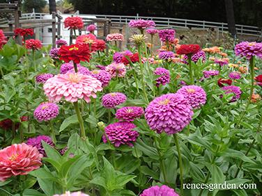 Berry Basket Cutting Zinnia