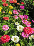 Blue Point Zinnia