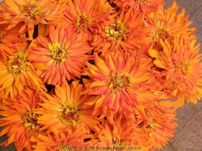 Mighty Lion Zinnia