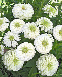 Polar Bear Zinnia