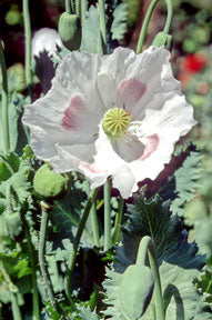 Poppy - Hungarian Breadseed