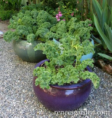 Green Curls Container Kale