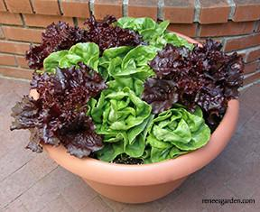 Ruby & Emerald Duet Container Lettuce