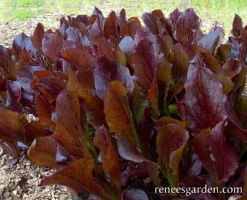 Sea Of Red Lettuce