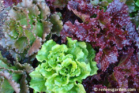 Summer Bouquet Lettuce (European Reds & Greens)