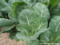 Green Flash Collards
