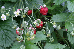 Alpine Mignonette Strawberry Seed