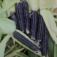 Black Aztec Ornamental Corn