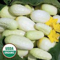 Mini White Cucumber