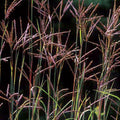 Big Bluestem Ornamental Grass