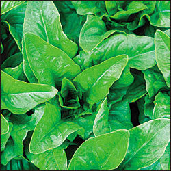 Amish Deer Tongue Lettuce