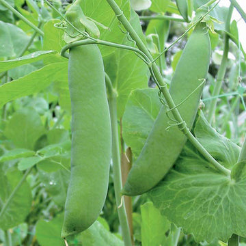 Champion Of England Peas