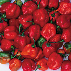 Red Habanero Hot Pepper