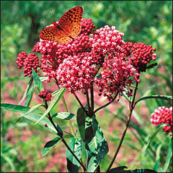 Butterfly Plant Red Milkweed