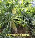 Tecomate Root King Radish