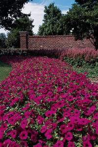 Wave Purple Classic Petunia (10 Seeds/Pkt)