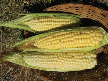 Ashworth Yellow Sweet Corn (Pkt)