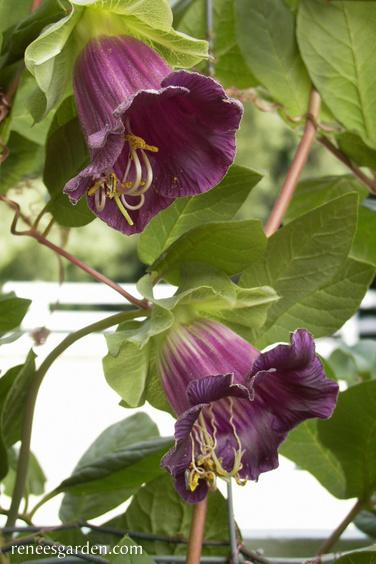 Cathedral Bells Vine (Pkt)