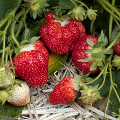 Chandler Strawberry Plants (25/Pk)