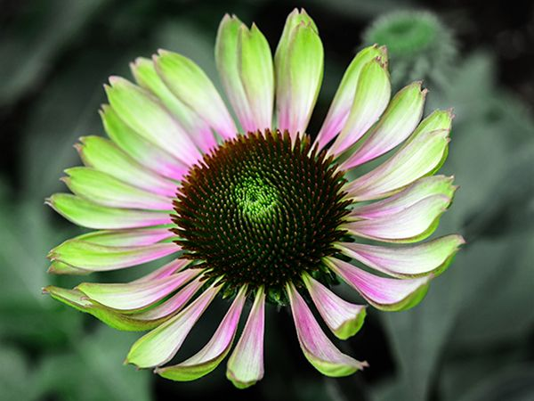 Echinacea Green Twister (Pkt)