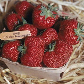 Jewel Strawberry Plants (25/Pk)