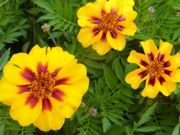 Naughty Marietta French Marigold (Pkt)