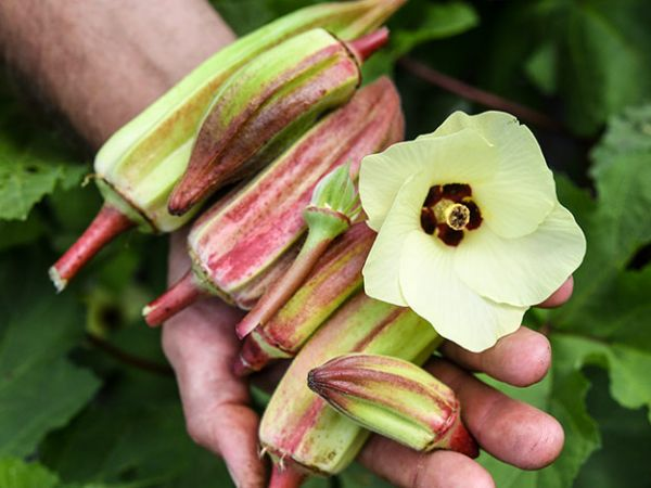 Alabama Red Okra