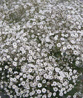 Baby's Breath Early Snowball