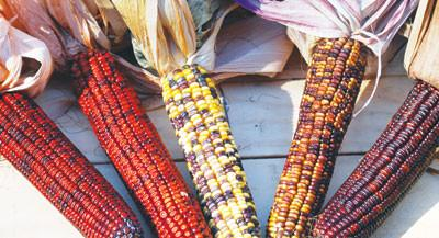 Pungo Creek Butcher Corn,  Ornamental (Pkt)